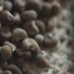 麝香锦葵:平滑的植物麝香