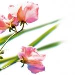 L`Occitane en Provence(欧舒丹)的Roses Et Reines Rose Originelle香水
