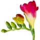 小苍兰:鲜花初长成